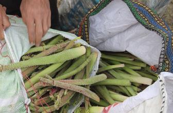 Bin 700 rakımda toplanan ışgın, köylülerin geçim kaynağı oldu