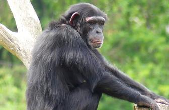 Şempanzeler hakkında yeni bir gerçek ortaya çıktı! Meğer yavruları için...