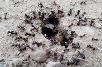 Karıncaların hareketlenmesi depremin habercisi mi?
