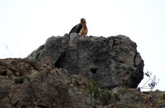 Türkiye'deki 4 akbaba türünden biri!  Sakallı akbaba Gümüşhane'de görüntülendi