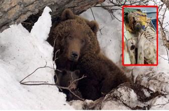 Rusya'da boz ayı bir ay boyunca bir adamı esir aldı!