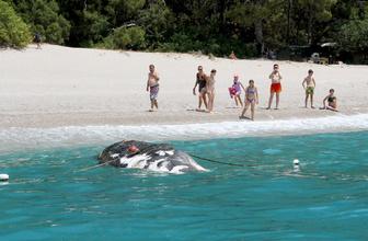 Muğla Fethiye'de ölü balina kıyıya vurdu