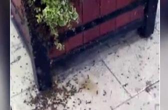 İrlanda'da arılar kraliçelerini ararken şehri birbirine kattılar