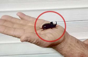 Mersin'de, gergedan böceği bulundu