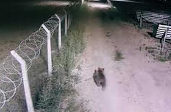 Sivas'ta endişe yaratan görüntüler! Santraline giren ayılar kameralara yansıdı