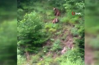 Yavru ayılar yiyecek için her gün oraya geliyor