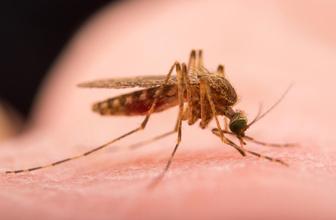 Sivrisinekler İstanbul'da endişe yarattı! Batı Nil Virüsü salgını belirtileri