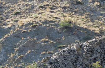 Erzurum'da yaban keçi sürüsü kameralara yansıdı