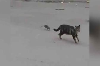 Bu sefer tam tersi oldu! Fare kediyi kovaladı