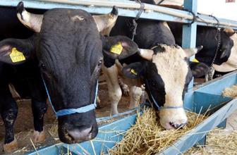 Et ve Süt Kurumu açıkladı! Elde kalan kurbanlıklar alınacak