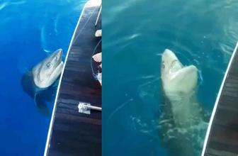 Antalya'da 3 metrelik köpek balığı oltaya takıldı