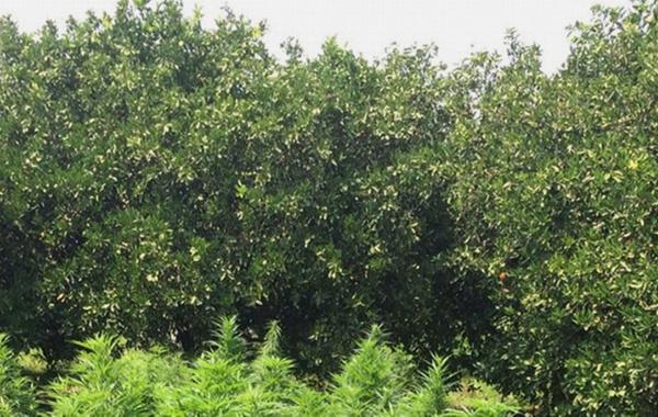 Adana'da portakal bahçesine uyuşturucu operasyonu