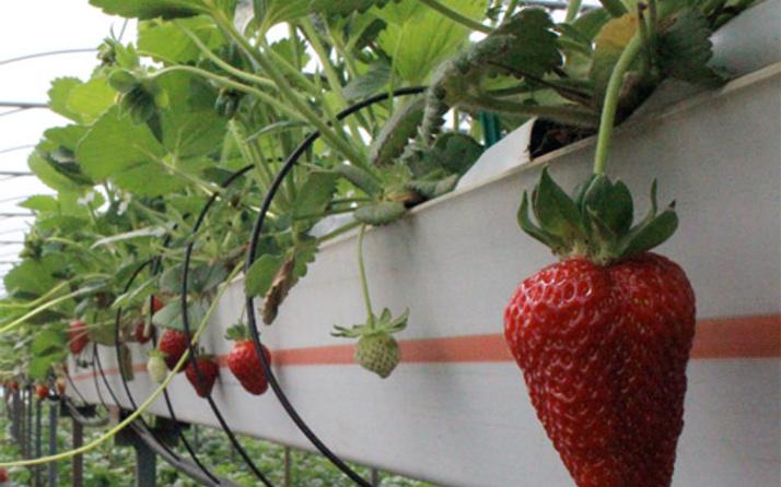 Topraksız organik çilek yetiştirdi! Bursalı çiftçiye talep yağıyor
