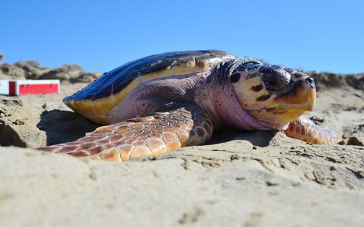 Caretta Dilek 3 yıl sonra Çanakkale'den mavi sulara geri döndü