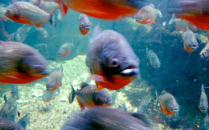 Pirana balığı nedir? Kan kokusuna dayanamazlar ve...