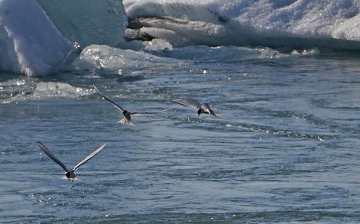 Küresel ısınma onları da vurdu kutuplar kuşlar için artık 'güvenli liman' değil
