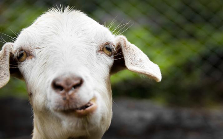 Paris metrosuna keçi ile bindi görevli ile tartıştı