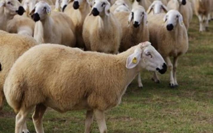 300 koyun alma şartı geri ödeme ne zaman başlıyor?