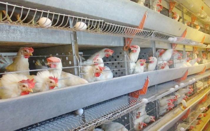 Şok iddia! 20 günlük tavuk kaldı fiyat 2 kat artabilir!