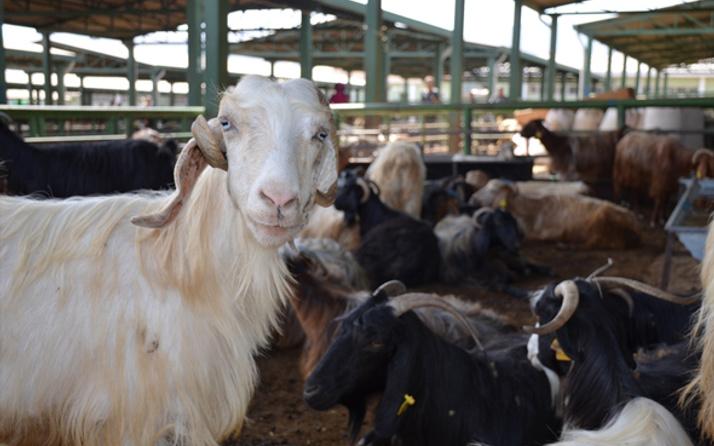 Kurbanlık kilo fiyatları açıklandı! Koyun 750 TL kurbanlık dana 5 bin liradan...