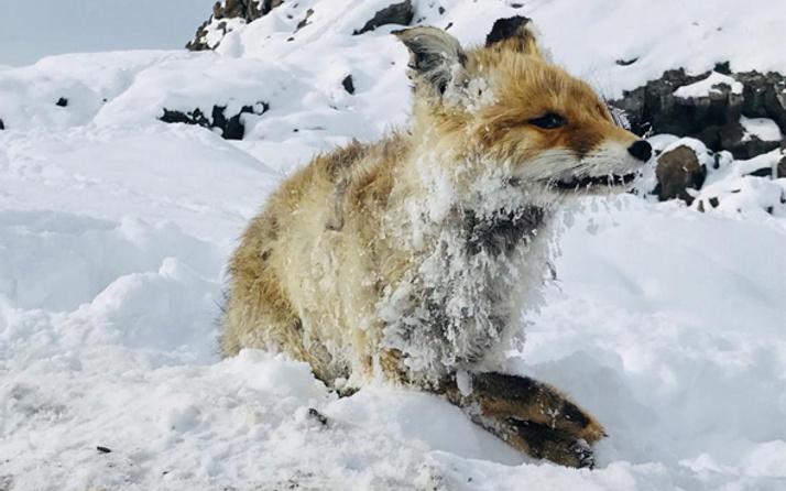 Çaldıran'daki soğuk tilkiyi dondurdu