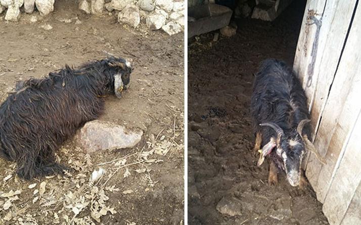 Aç kurtlar ahıra dalıp 16 keçiyi telef etti!