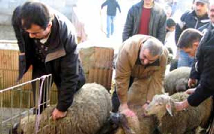 103 koyun intihar etti
