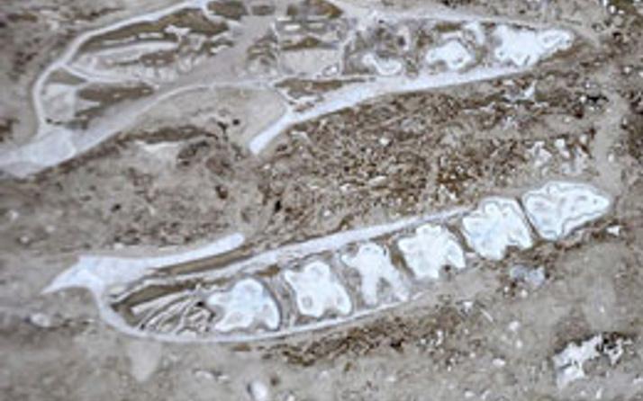 Denizli'de gergedan fosili çıktı