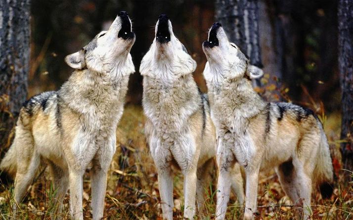 Aç kalan kurtlar köye indi! Yaşlı anneyle kızını parçalayıp yedi