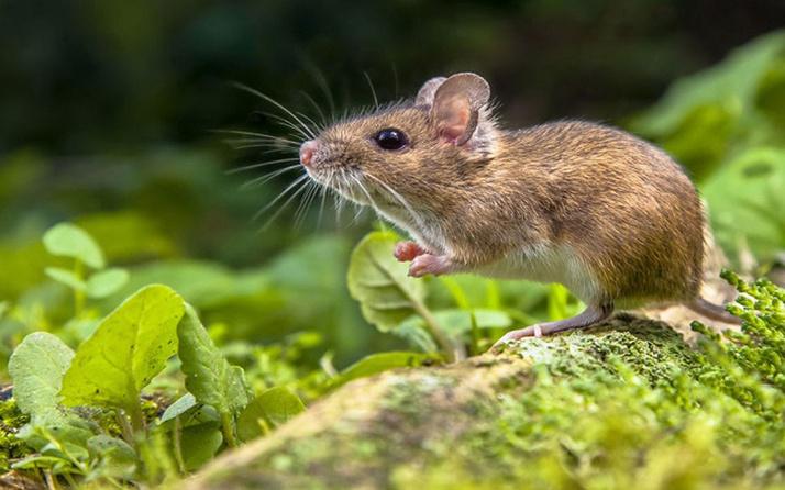 İngiltere'de mahkumlar kaçak telefon için ölü fare kullandılar
