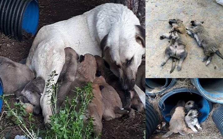 İnsanlık uslanmıyor! Erdek'te 7 hayvan katledildi