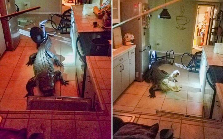 Mutfakta timsahla karşılaştı şoka girdi