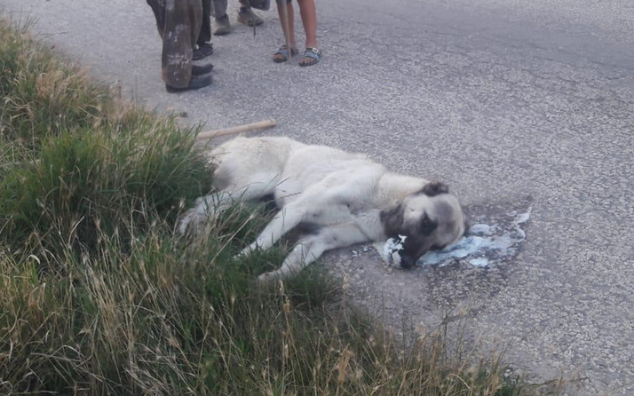 Ankara'da sokak köpeklerini zehirleyerek öldürdüler