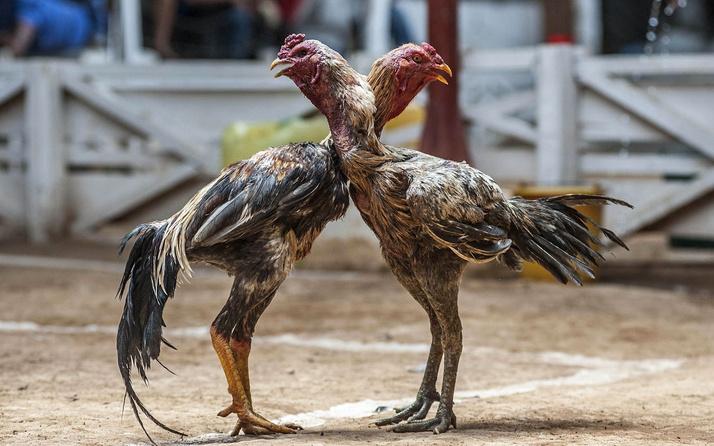 Mersin'de Hayvanları Koruma Derneğine horoz dövüşü baskını