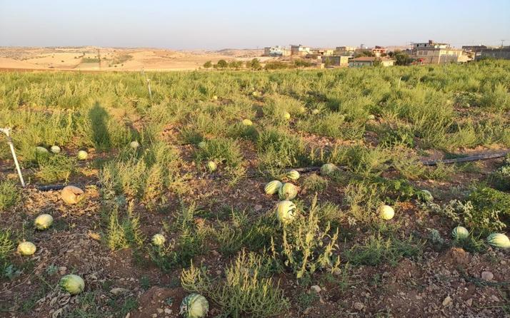Mardin'de satılmayan karpuzlar tarlada çürüdü