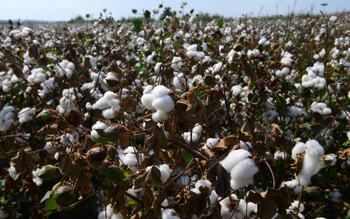 Pamuk diyarı Çukurova'da hasat başladı