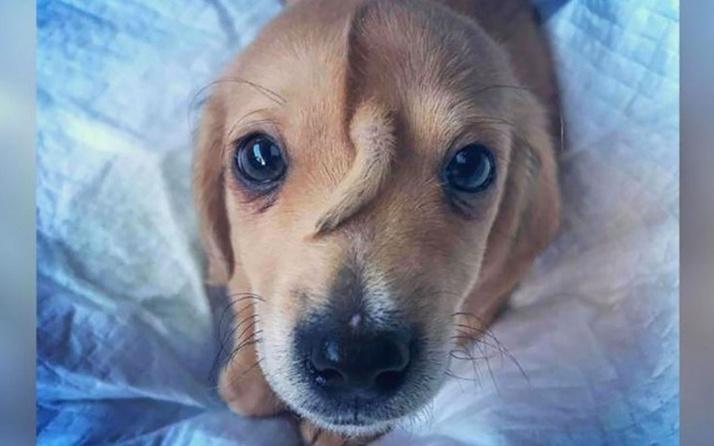 Yavru köpeğin yüzünde kuyruk çıktı görenler şok geçirdi