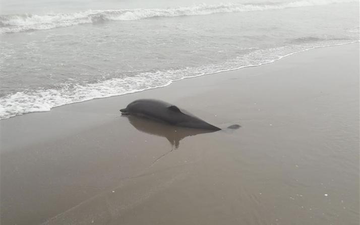 Samsun'da ölü yunus sahile vurdu