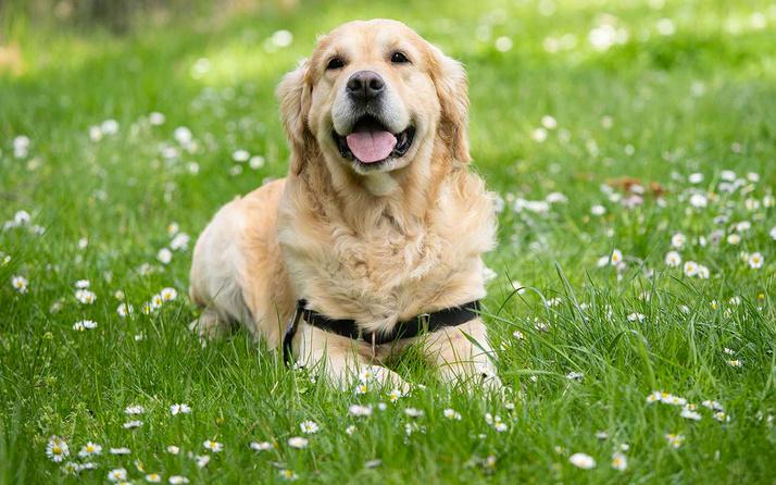 İngiltere'de köpekler Covid-19'u koklayarak teşhis etmeleri için eğitilecek