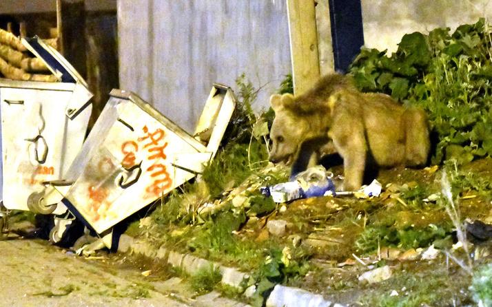 Kars'ta acıkan boz ayı mahalleye inerek yiyecek aradı