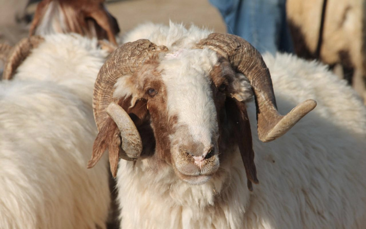Kurban Bayramı öncesi hayvanlardan bulaşan orf hastalığına dikkat!
