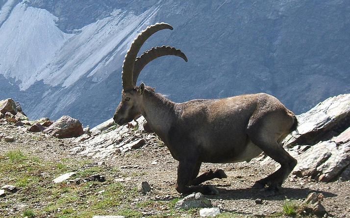 Dağ keçilerinin avlanma ihalesi iptal edildi