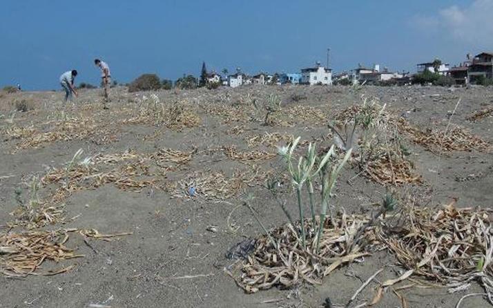 Kum zambaklarını koparmanın cezası 73 bin TL