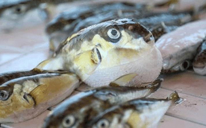Mezgit balığı alırken dikkat edin! Tezgahlarda balon balığı tehlikesi