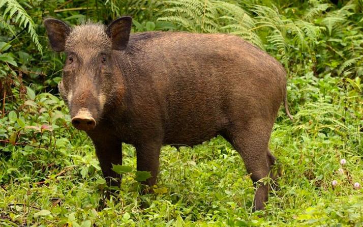 Tunceli'de yaban domuzunun saldırısına uğrayan kişi yaralandı