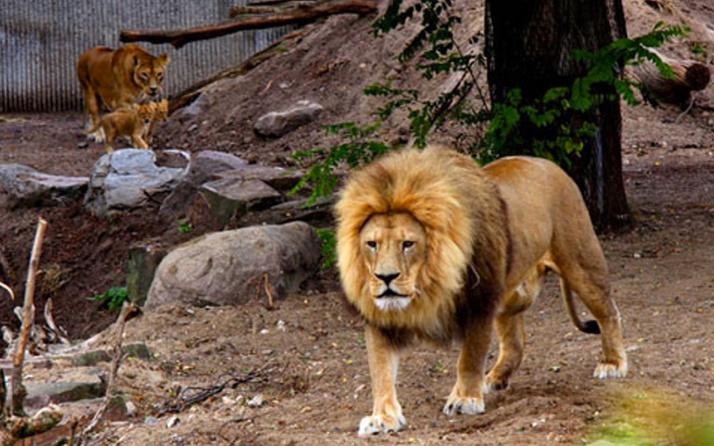 İspanya'da hayvanat bahçesindeki 4 aslanın koronavirüs testleri pozitif çıktı