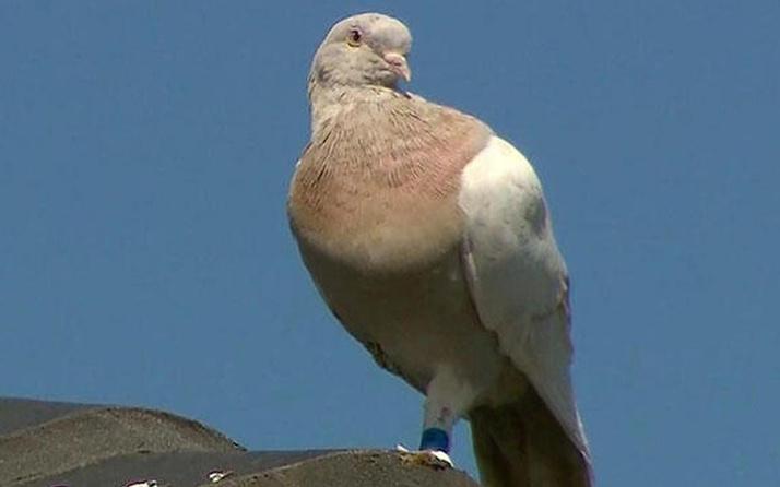 7 milyon TL'lik güvercin büyük panik yarattı itlaf edilecek! Gerekçesi bakın ne