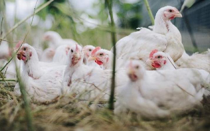 Japonya'da kuş gribi alarmı: 410 bin tavuk itlaf edilecek