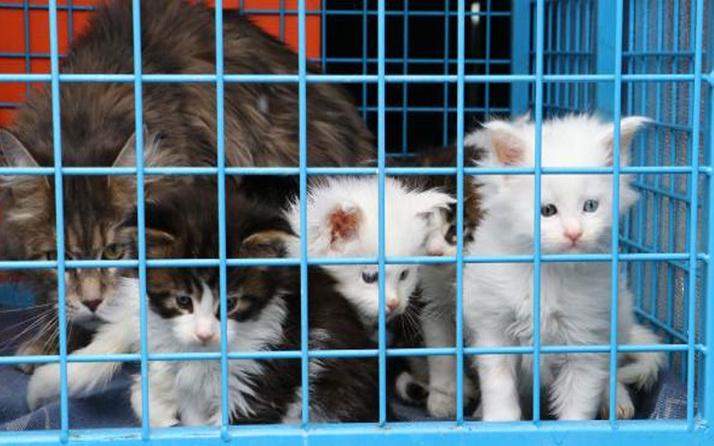 """Ankara'da 29 Norveç orman kedisine el konuldu! """"Sadece bakıcıyım"""" dedi ama..."""