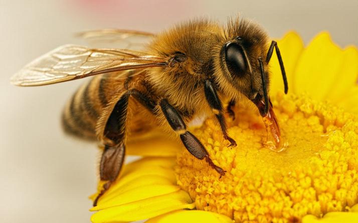Bal arısı mucizesi! Covid-19'u tespit edebilir mi? Sonuçlar heyecan verici